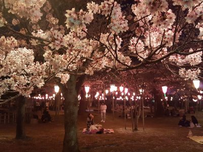 Cherry Blossoms at Rojo Park